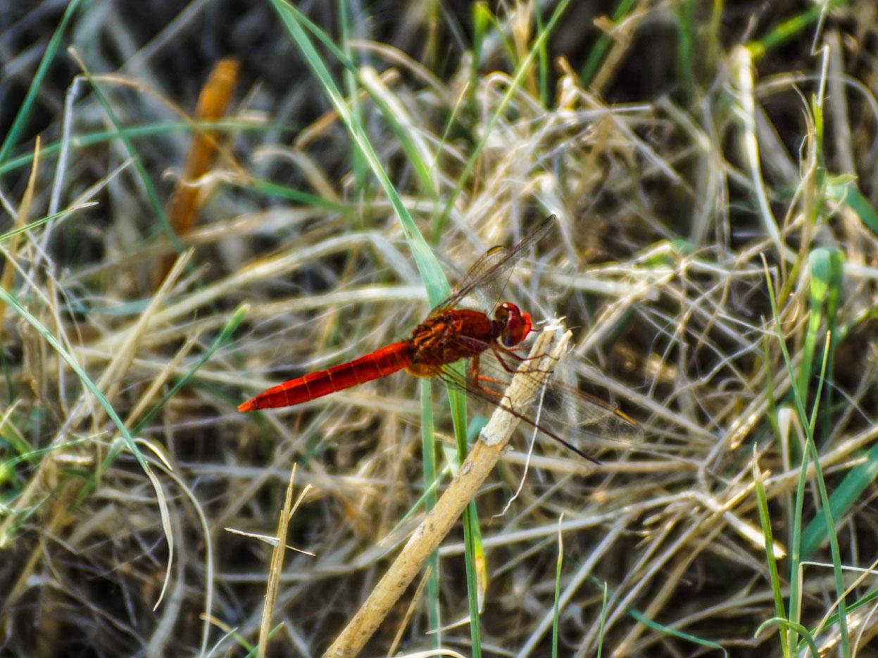 Die Nahaufnahme einer rubinroten Libelle