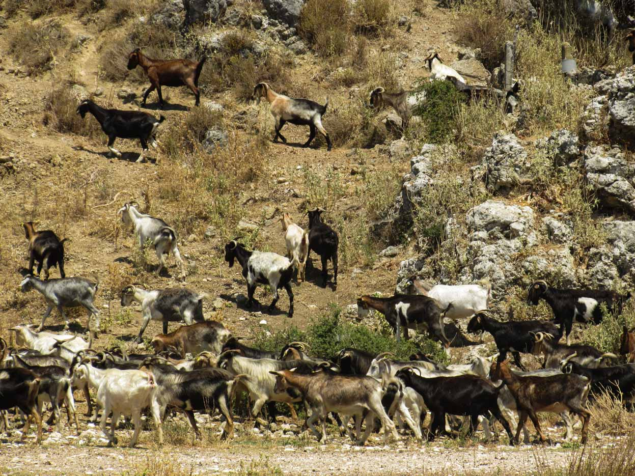 Auf einem Hügel Hang mit vertrocknetem Wuchs zieht eine Herde Ziegen vorbei.